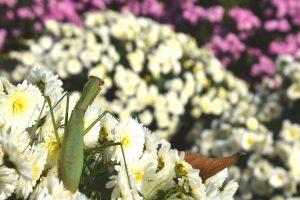 飯山花の里カマキリ