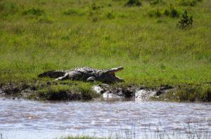 croccodile