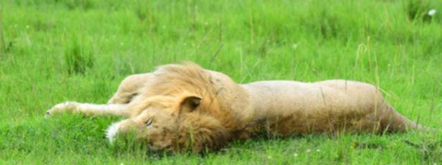 ライオンの昼寝