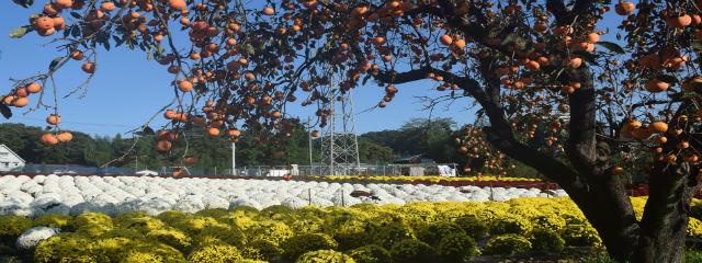 飯山ざる菊