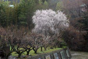 飯山・満開の桜