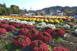 飯山花の里ざる菊