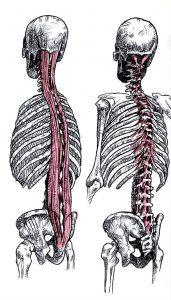 脊椎と筋肉